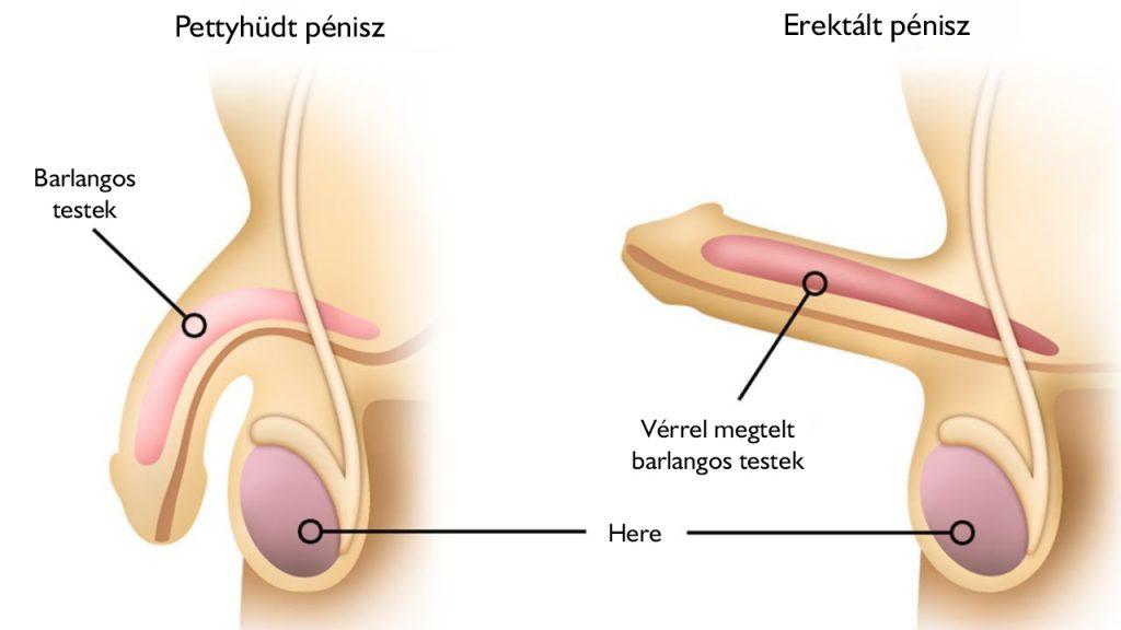 csökkent férfi erekció