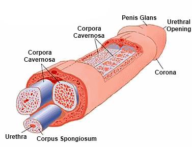 a pénisz meghosszabbításának módjai ha napközben merevedés