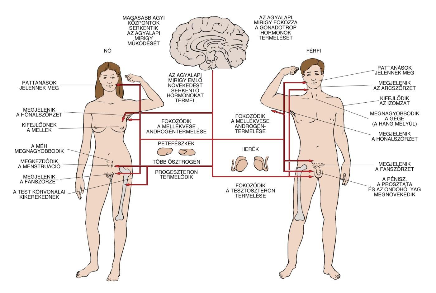 tesztoszteron pénisz mérete testgyakorlás az erekció és a potencia javítására