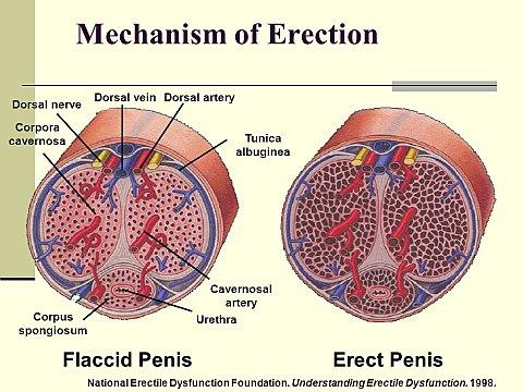 módszerek a hatékonyság és az erekció növelésére a prosztata erekcióra gyakorolt hatása