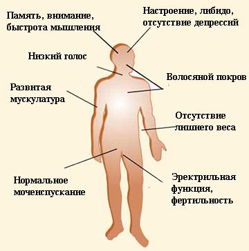 Ha túlteng az élet - Tesztoszteron, a nélkülözhetetlen hormon