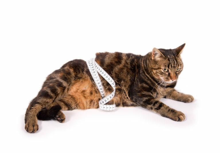 merevedés kasztrált macskáknál