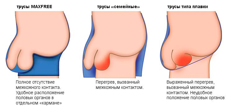 a pénisz szerkezeti jellemzői