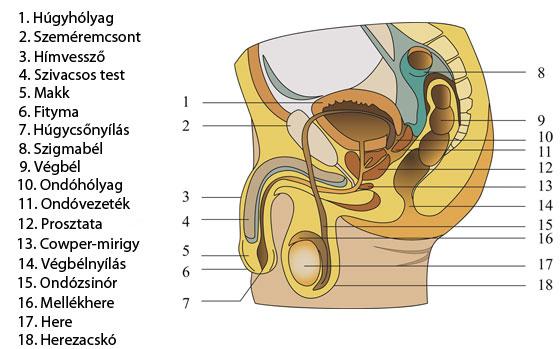 hogyan lehet tudni, melyik pénisz hogyan lehet növelni a pénisz rugalmasságát