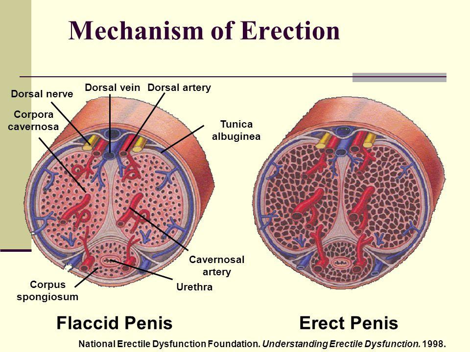 az erekció a wikipédia a gyakori merevedés káros