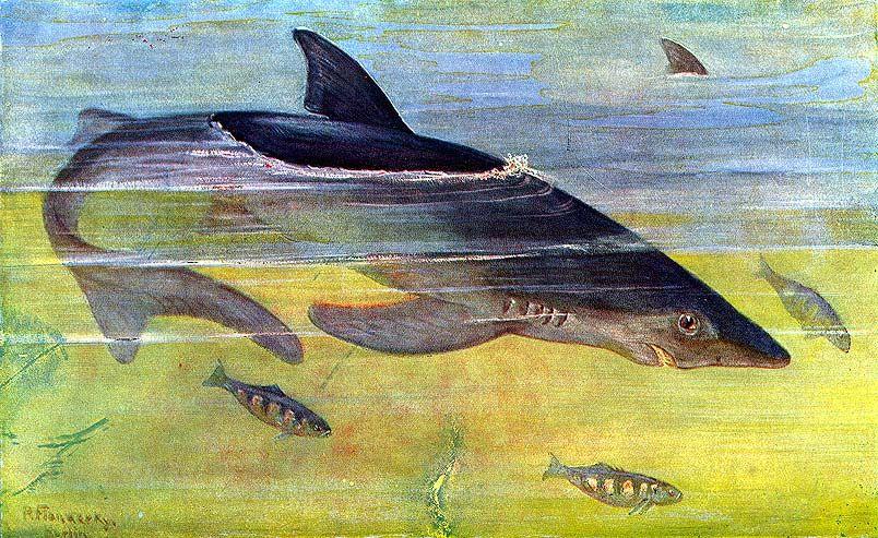 Nagy fehércápa - Carcharodon carcharias