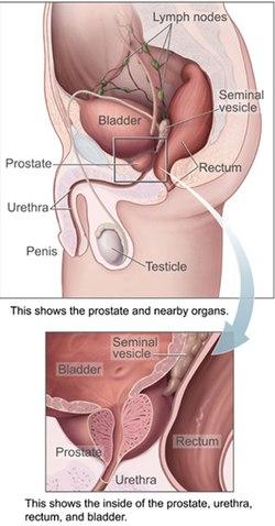 hogyan kapcsolódik a prosztata és az erekció