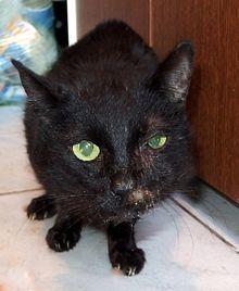 Kasztrálás kedvelésből tartott macskáknál – Ivartalanítás vagy nem ivartalanítás