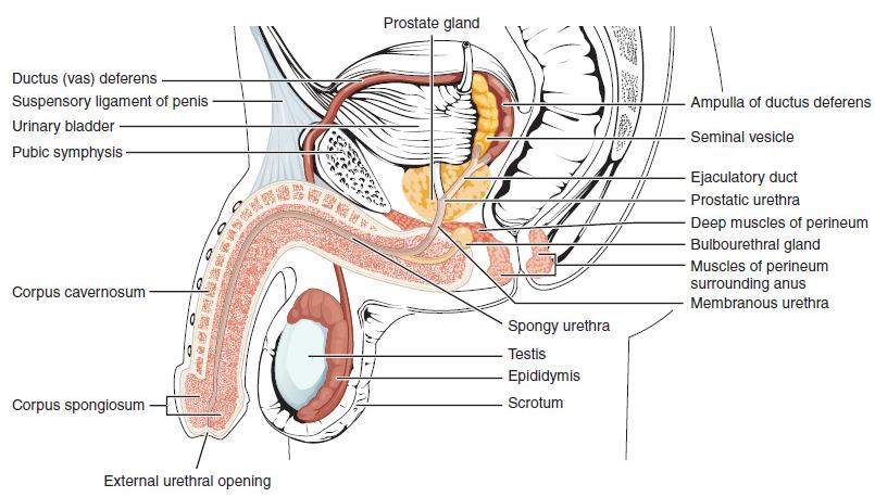 pénisz nagyobb, mint a fej milyen étel jó a jobb erekcióhoz