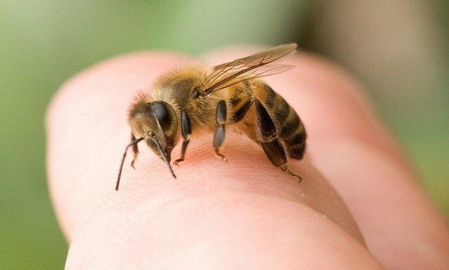 rovar a péniszen